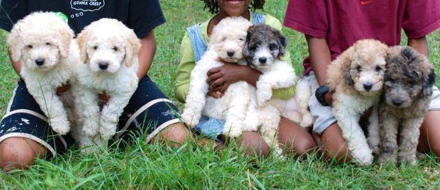Miniature Labradoodle Puppies Rare Colors Health Guarantee