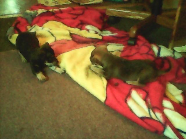 Miniature Pincher Mix Chihuahua German Shepherd Puppies For Sale In