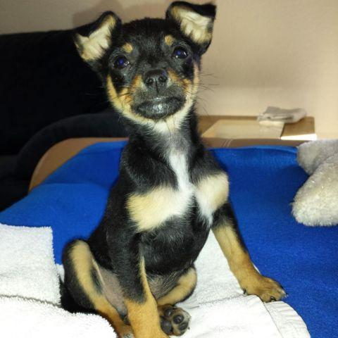 Pinscher Chihuahua Mix Chipin Dog