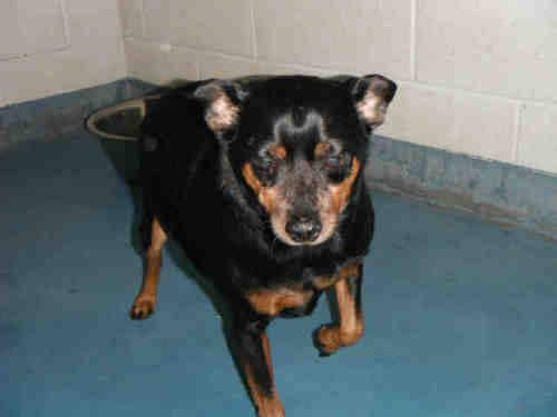 Miniature Pinscher - Delaney - Small - Adult - Female -