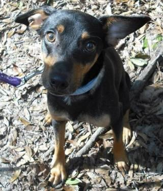 Miniature Pinscher - Miss Cleo - Small - Adult - Female