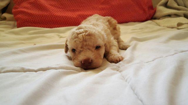 Miniature Poodle- 3 weeks old for Sale in Bloomington, California