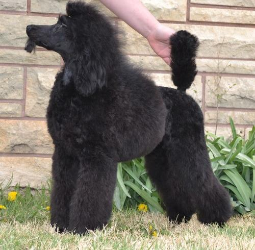 Miniature Poodle Puppy for Sale - Adoption, Rescue