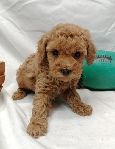 Miniature Poodle Rescue Missouri