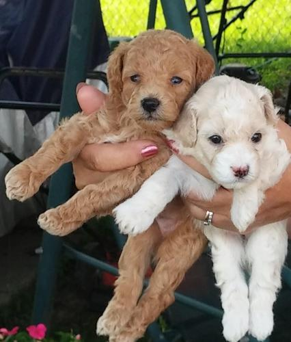 Miniature Poodle Pups