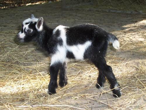 Miniature Pygmy Goats