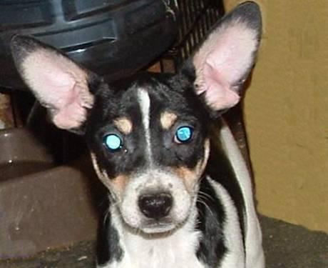 miniature rat terriers for Sale in Bartlettsville, Indiana