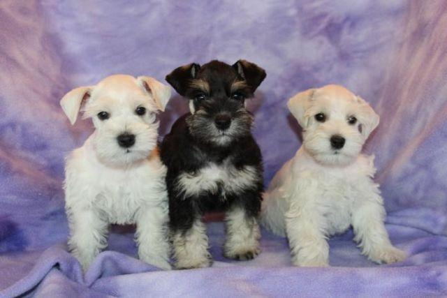 Miniature Schnauzer Puppies Akc For Sale In Grass Valley