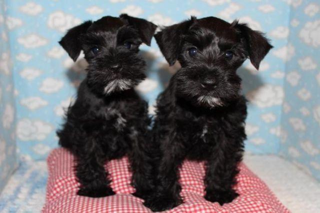 Miniature Schnauzer Puppies Akc For Sale In Cherokee