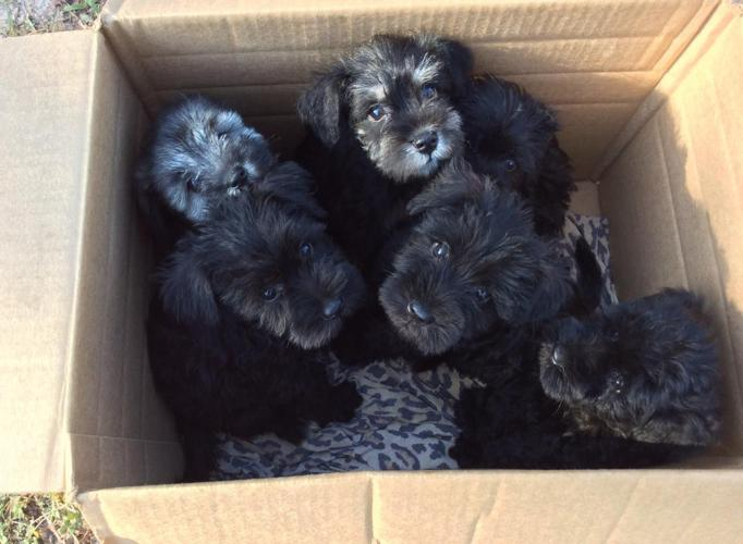 Miniature Schnauzer Puppies!