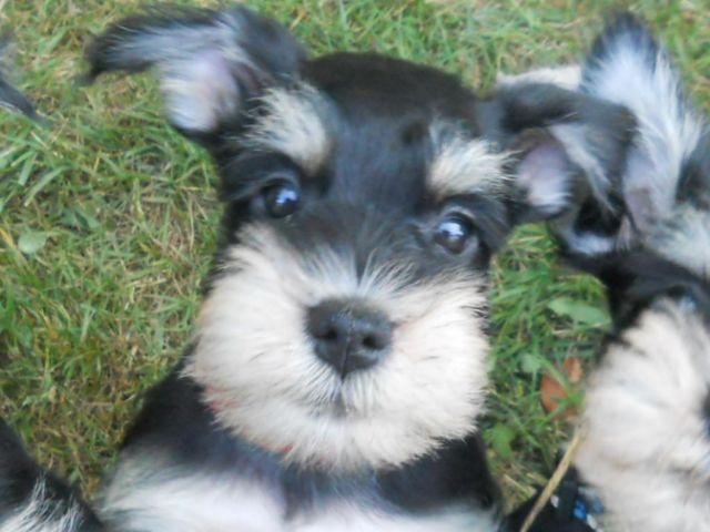 Miniature Schnauzer Puppies Phantom Akc Blk Slv One Female