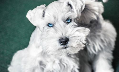 Miniature Schnauzer Puppy for Sale - Adoption, Rescue for