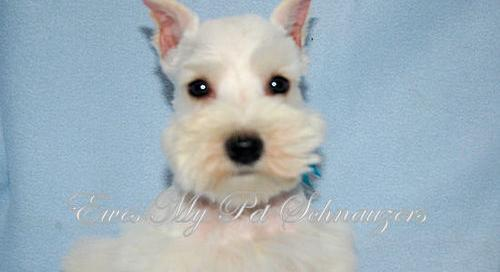 Mini Schnauzer Pets And Animals For Sale In The Usa Puppy And