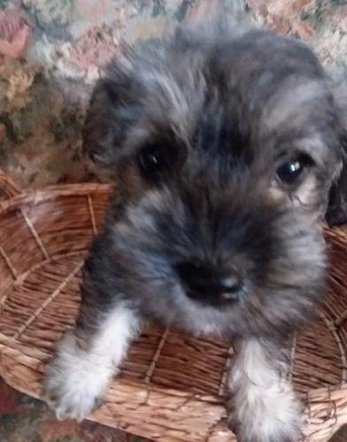 Miniature Schnauzer Puppy For Sale Adoption Rescue For Sale In