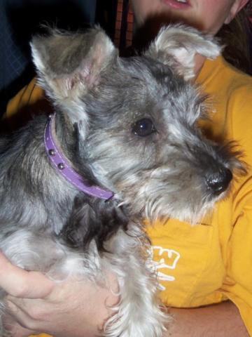 Miniature Schnauzer Puppy Girl AKC