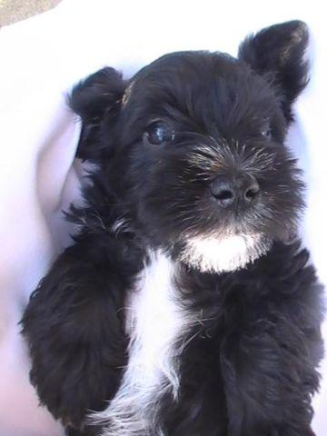Miniature Schnauzer Puppy Male