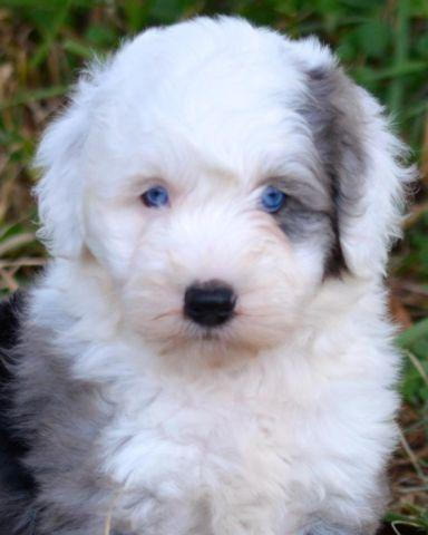 Miniature Sheepadoodle Puppies Health Guarantee For Sale
