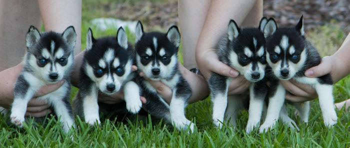 Miniature Siberian Husky Puppies For Sale In Port Charlotte Florida
