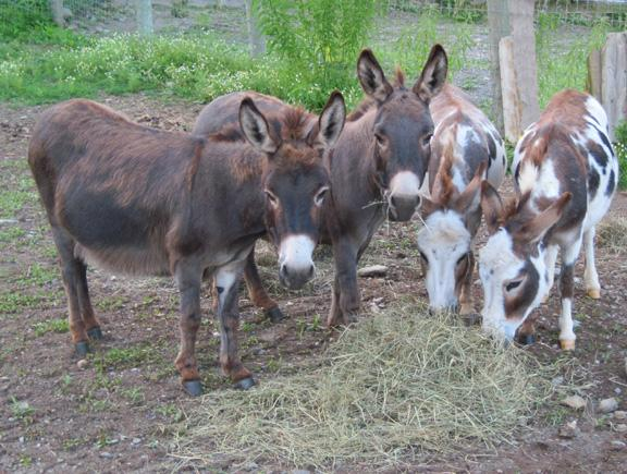 Miniature Sicilian Donkeys For Sale For Sale In Alstead