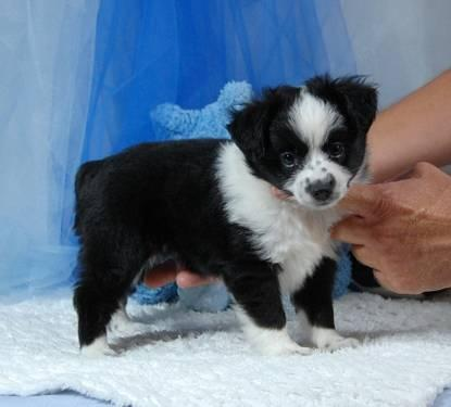 Miniature(small) Australian shepherd-Blue boy blue