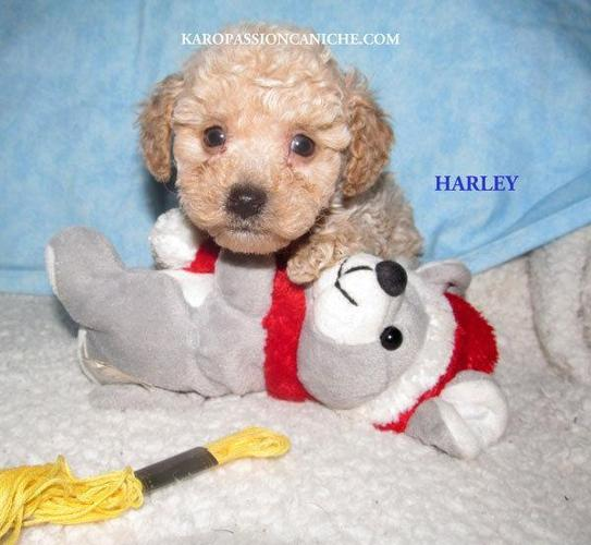 Teacup Poodle For Sale In Indiana Classifieds Buy And Sell