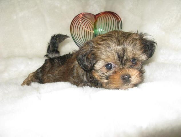 Miniature Yorkieshih Tzu Puppy For Sale 8 Weeks For Sale In