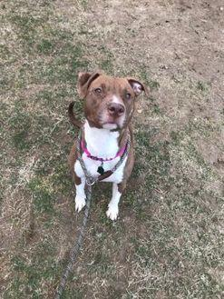 Misty American Pit Bull Terrier Adult Female