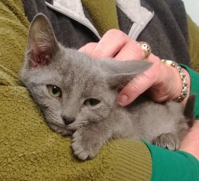 Misty - Gorgeous Russian Blue Mix DSH Female Kitten for ...