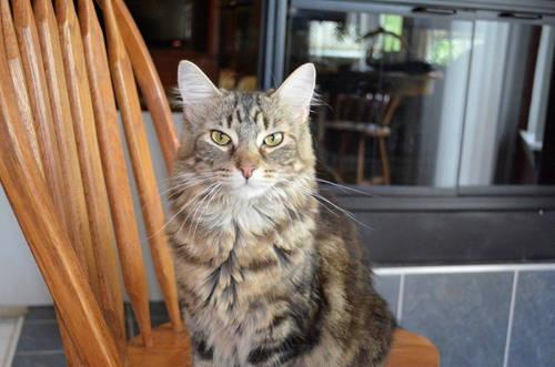 Mixed Beautiful Abyssinian Maine Coon For Sale In Jackson Michigan Classified Americanlisted Com