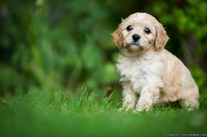 Mixed Breed Beautiful Cavapoo Puppy For Sale In Braden