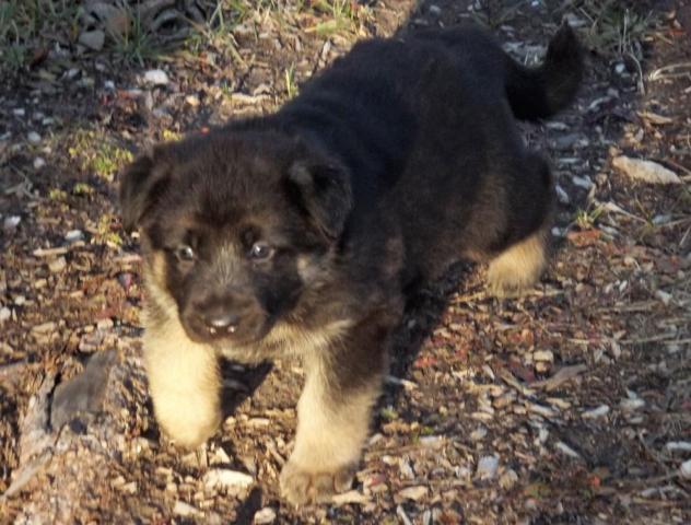 MLM0201~AKC German Shepherd Female~Black,Tan, and Silver ...