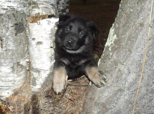 MLM0203~AKC German Shepherd Female~Black, Tan, and Silver ...