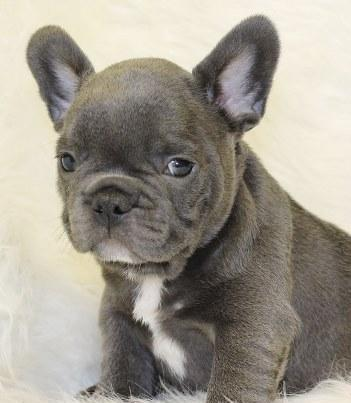 Mnhbgfv Blue French Bulldog Puppies For Sale For Sale In Guilford