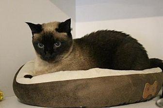 Mocha Domestic Shorthair Senior Male
