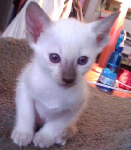 Autonation North Phoenix >> Modern Siamese Kittens for Sale in South Pasadena, California Classified | AmericanListed.com