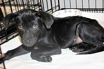 Molly Labrador Retriever Puppy Female