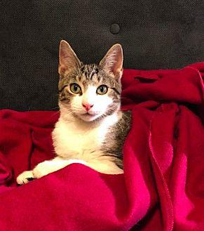 Monkey Domestic Shorthair Kitten Male
