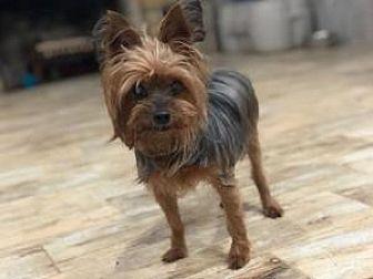 Monroe Yorkie Yorkshire Terrier Adult Female For Sale In Bethel