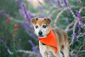 Monte Jack Russell Terrier Senior Male