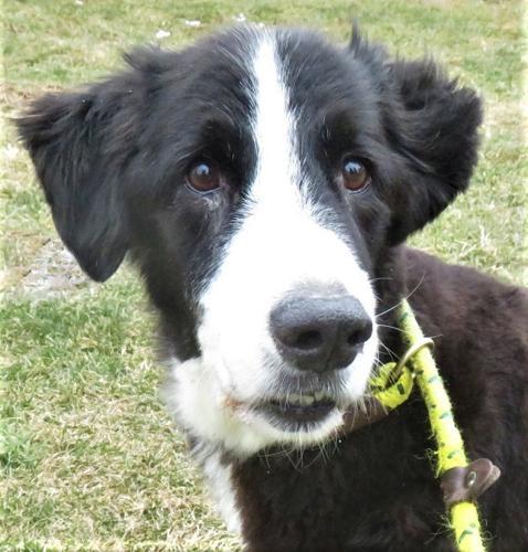 Moo Moo Bernese Mountain Dog Senior Adoption Rescue For