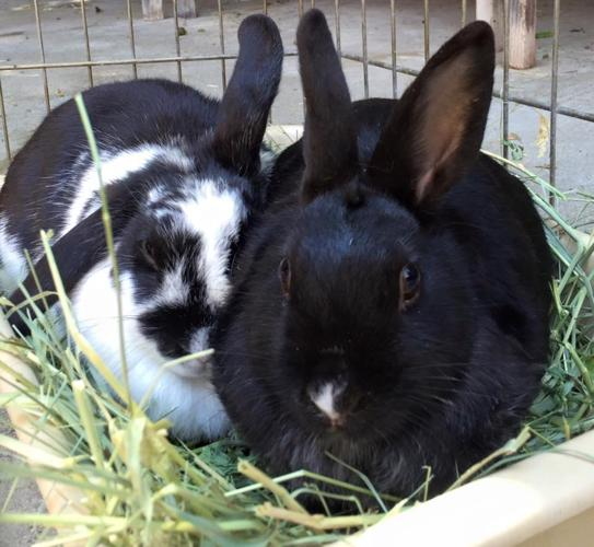 Moomoo and Mimi (beverly's girls) Lop Eared Young -
