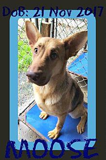 MOOSE German Shepherd Dog Young Male