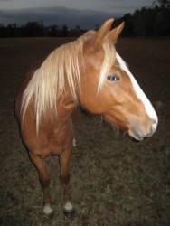 Morgan - Baby 2 - Small - Adult - Female - Horse