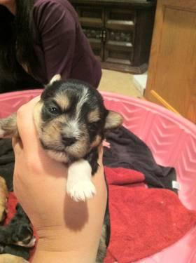 Morkie Babies...1 Female & 2 Males Still Available
