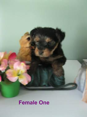 Morkie female puppies (half Yorkshire Terrier &