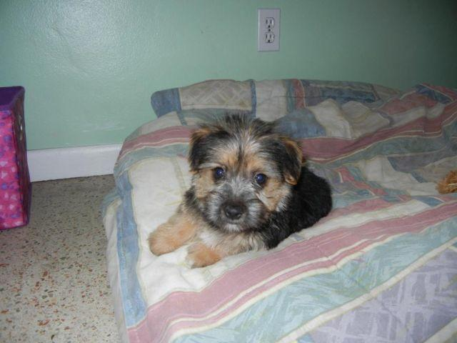MORKIE MALE PUPPY -11 WEEKS OLD
