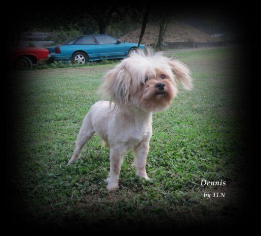Morkie Malteseyorkie Male Adult For Adoption For Sale -4491