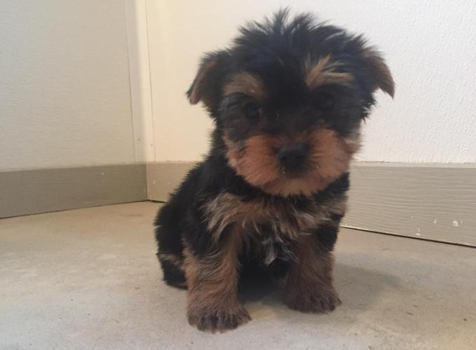 Morkie Maltese Yorkie Mix Puppies Ready Week Of 1 11 16 3 Females