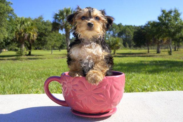 yorkie maltese puppy for sale morkie maltese yorkie puppy for sale for sale in venice 155