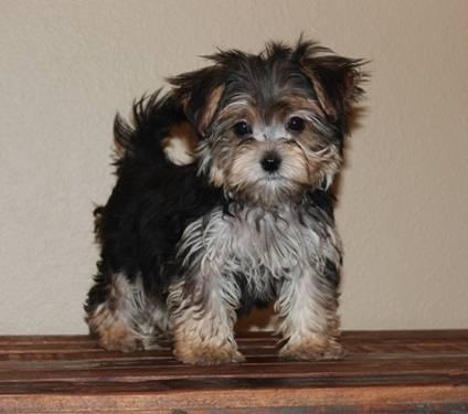 yorkshire terrier for sale mn morkie puppies 12 wks old for sale in eden valley 5174